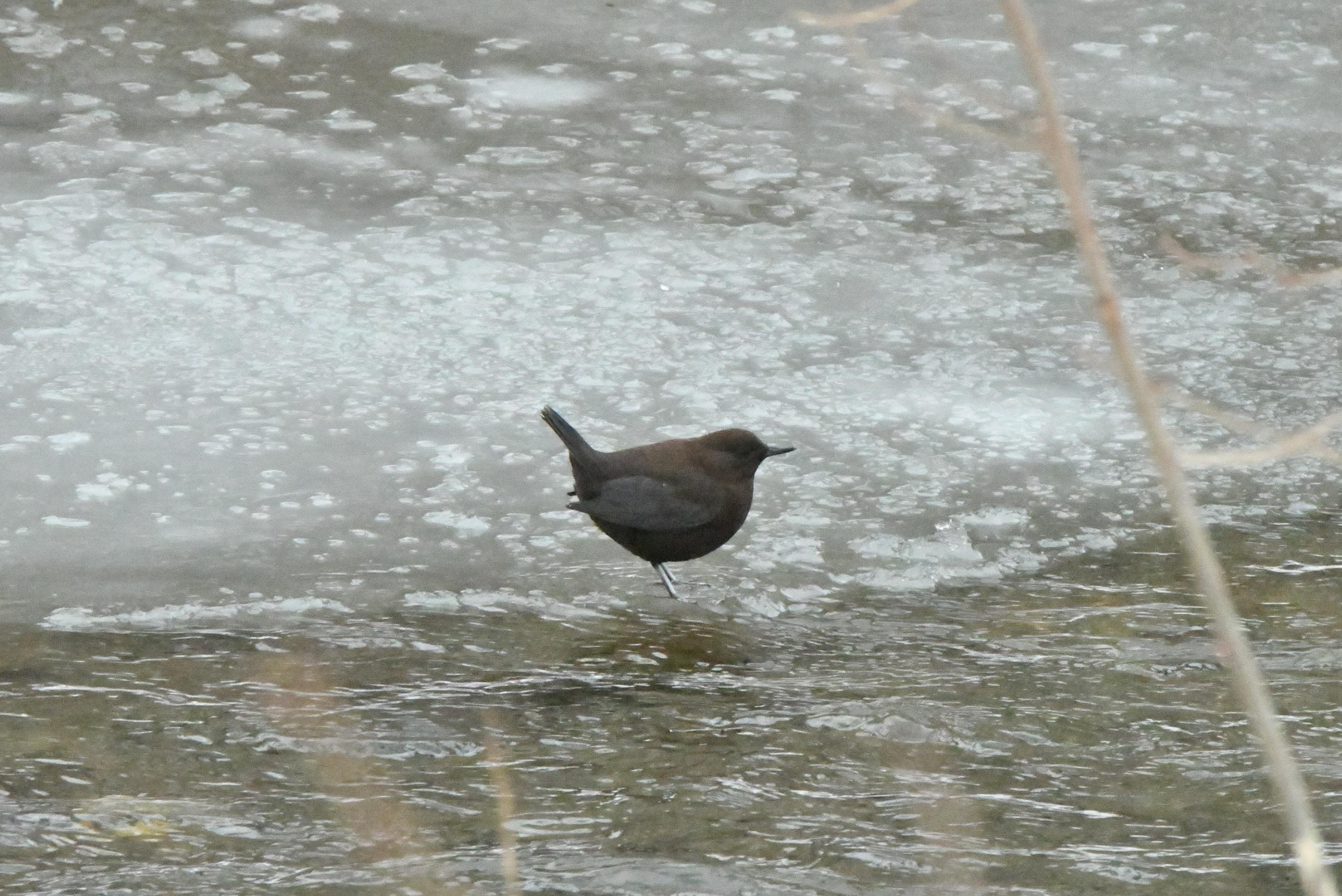 越冬カワガラス