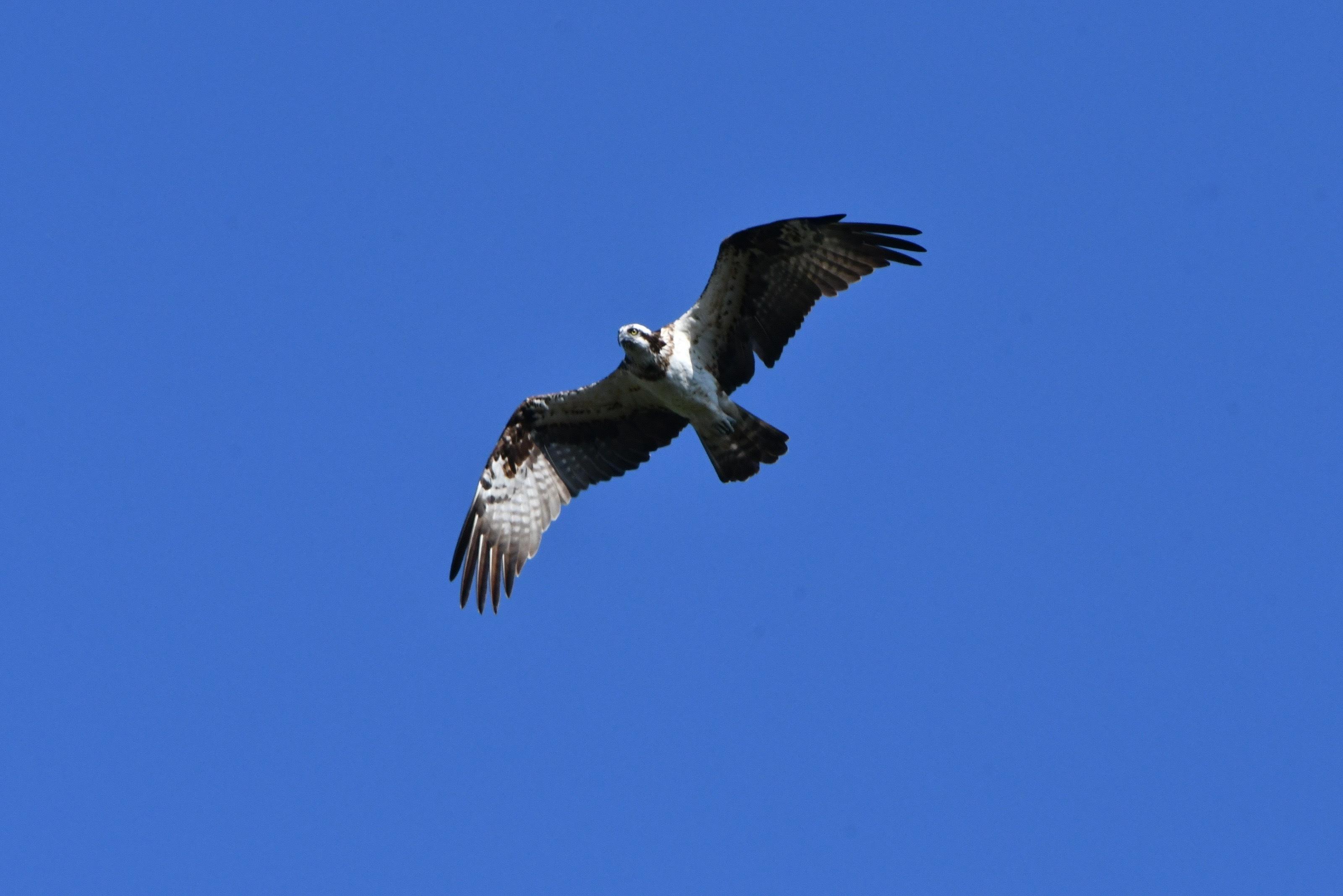 ミサゴ雌飛翔2