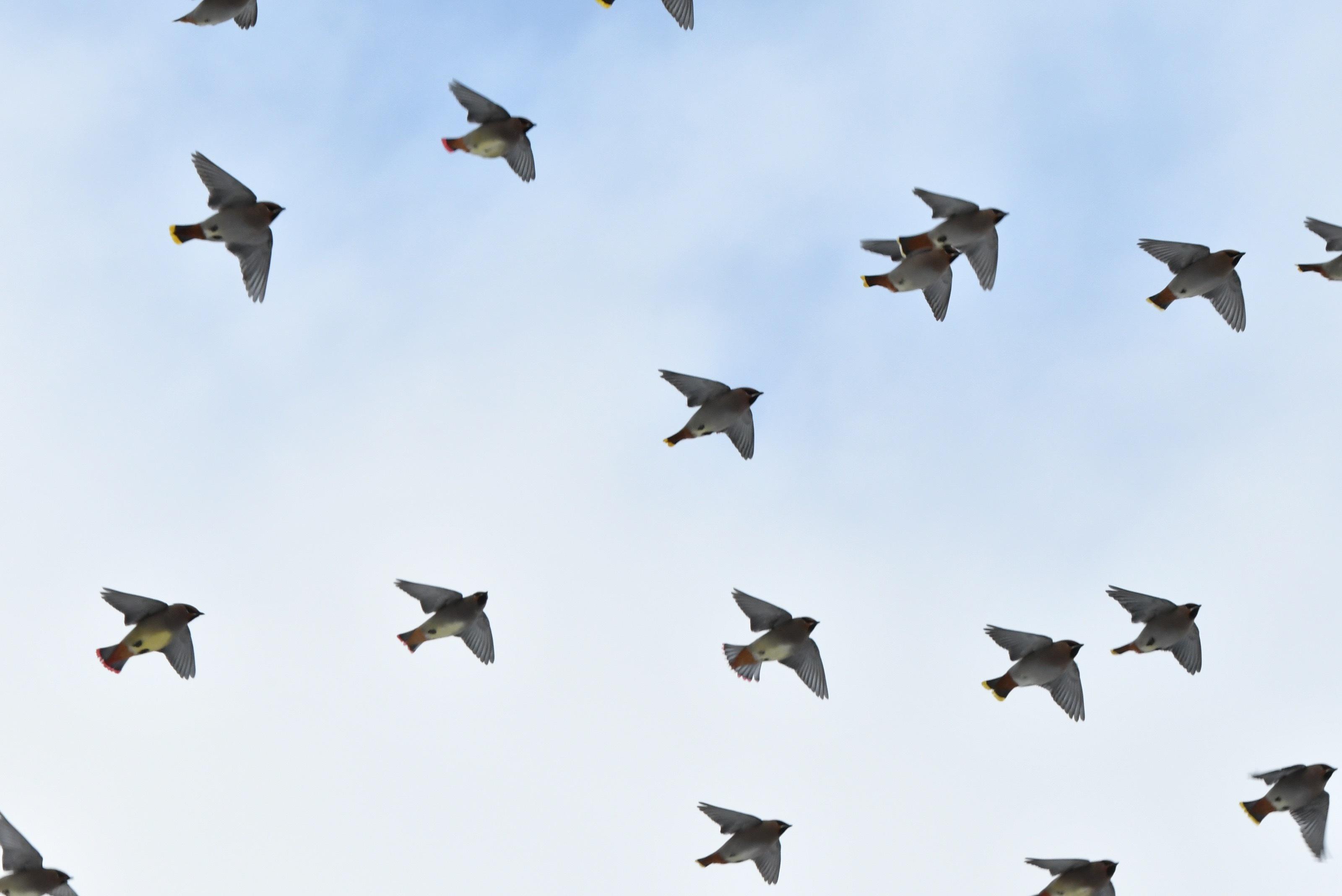 レンジャク群れ飛翔