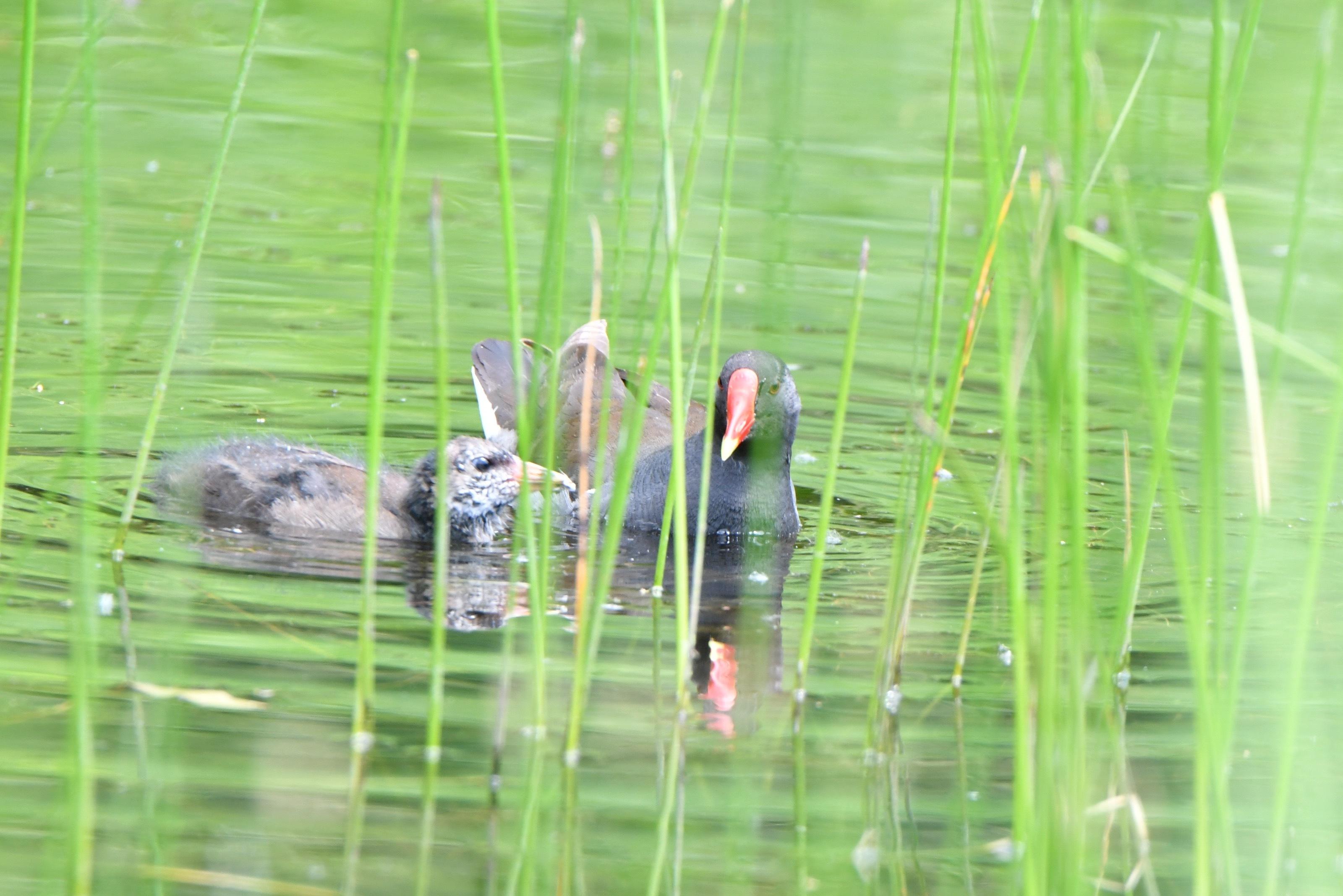 親からトンボの餌を貰うバンの巣立ち雛