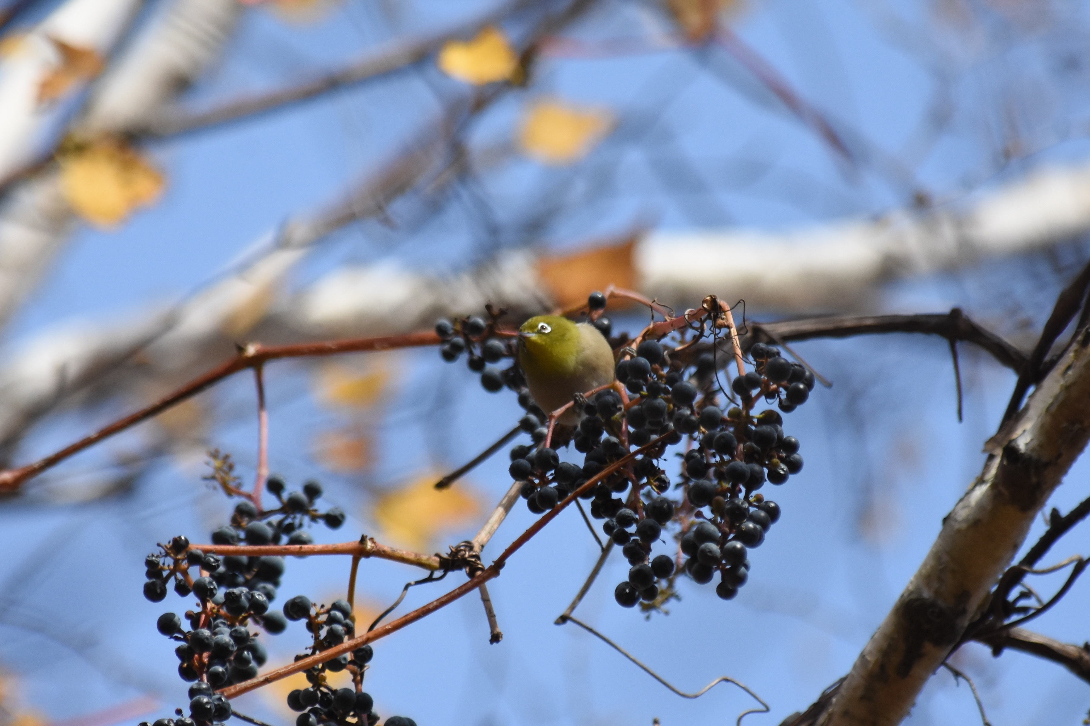 山葡萄を食べるメジロ
