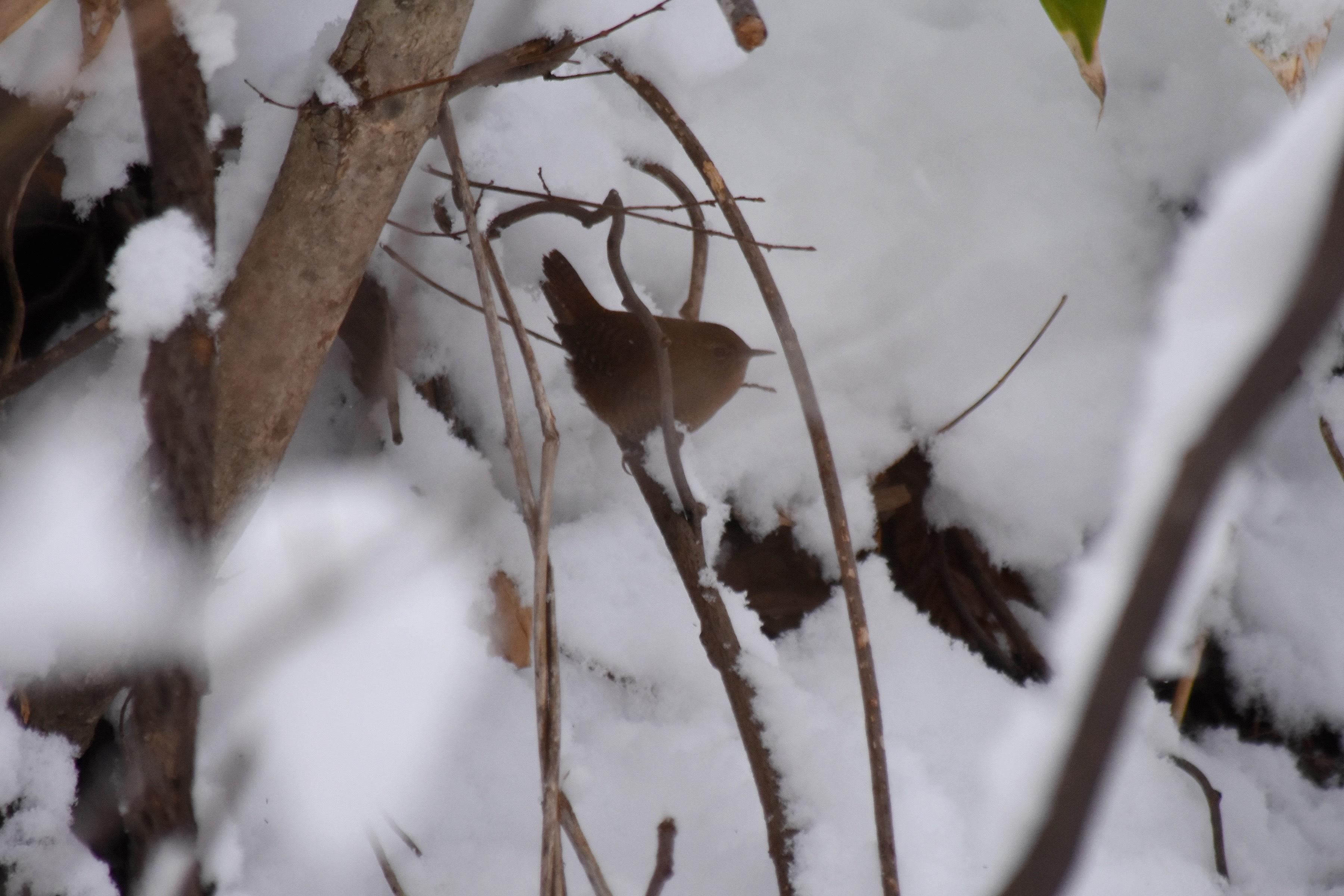 初冬のミソサザイ3