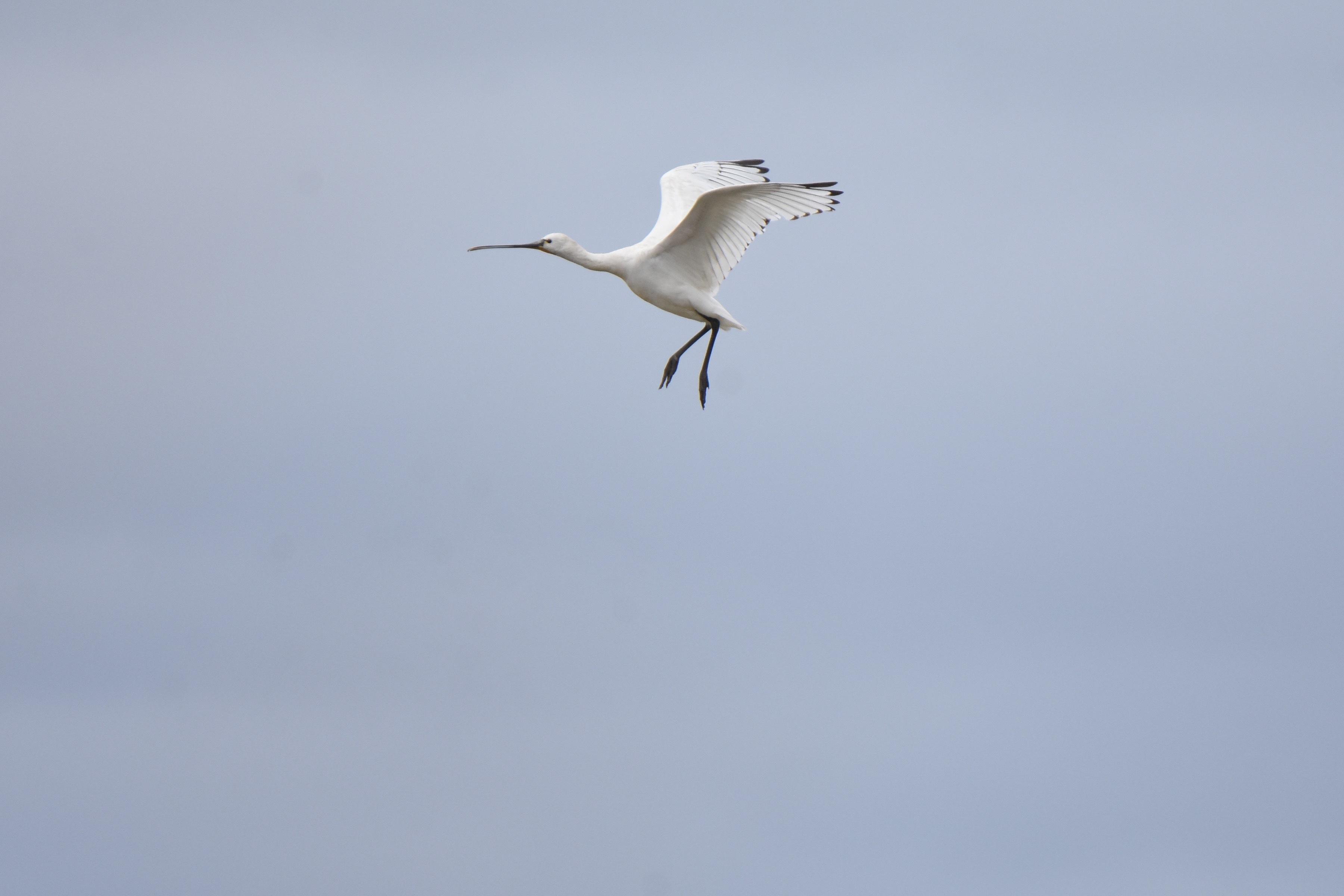 ヘラサギ 飛翔