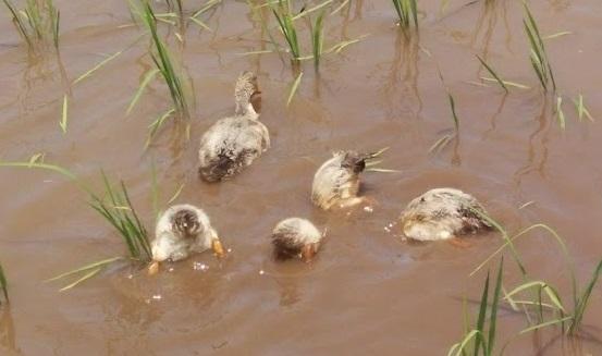 2017-6-20水の中を探るカモ_