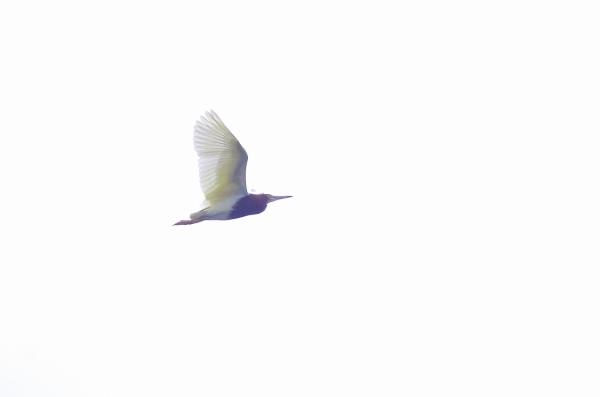 170702アカガシラサギp