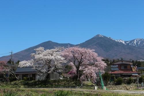 huzimisakura02.jpg
