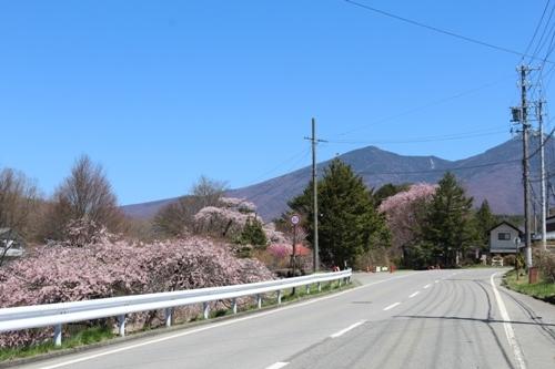 huzimisakura04.jpg