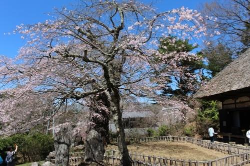 huzimisakura11.jpg