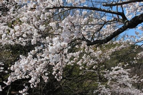 huzimisakura29.jpg