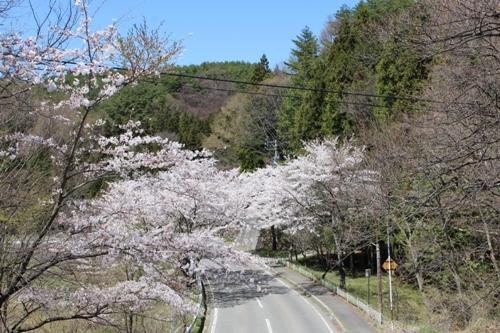 huzimisakura30.jpg