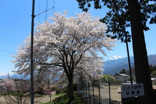 huzimisakura31.jpg