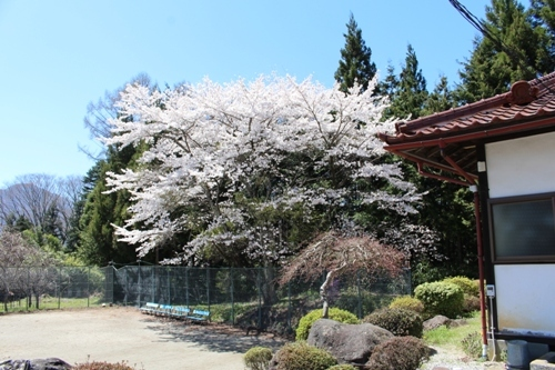 huzimisakura32.jpg