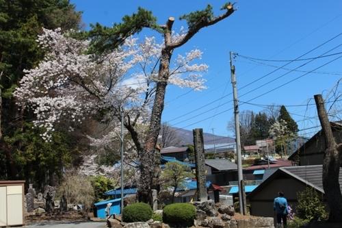 huzimisakura33.jpg
