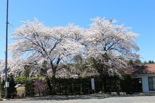 huzimisakura37.jpg