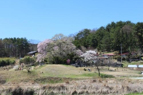 huzimisakura38.jpg