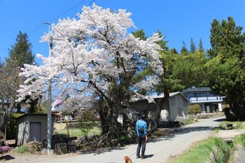 huzimisakura40.jpg