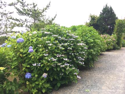 下神谷のハナショウブ・波立薬師のアジサイが咲き始めました! [平成29年6月19日(月)更新]11