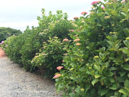 下神谷のハナショウブ・波立薬師のアジサイが咲き始めました! [平成29年6月19日(月)更新]12
