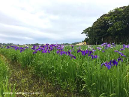 下神谷のハナショウブ・波立薬師のアジサイが咲き始めました! [平成29年6月19日(月)更新]3