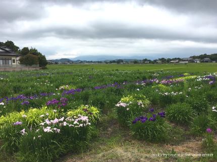 下神谷のハナショウブ・波立薬師のアジサイが咲き始めました! [平成29年6月19日(月)更新]5