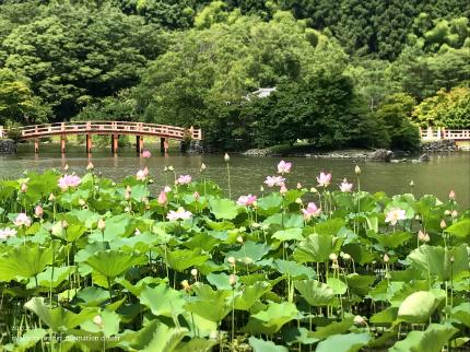 国宝白水阿弥陀堂のハス [平成29年7月21日(金)更新]5
