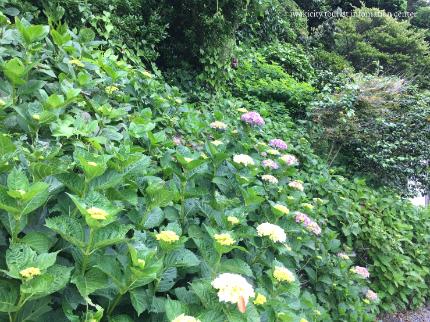下神谷のハナショウブ・波立薬師のアジサイが咲き始めました! [平成29年6月19日(月)更新]8