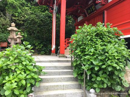 下神谷のハナショウブ・波立薬師のアジサイが咲き始めました! [平成29年6月19日(月)更新]9