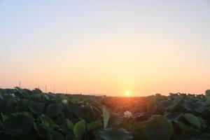 蓮を照らす朝日