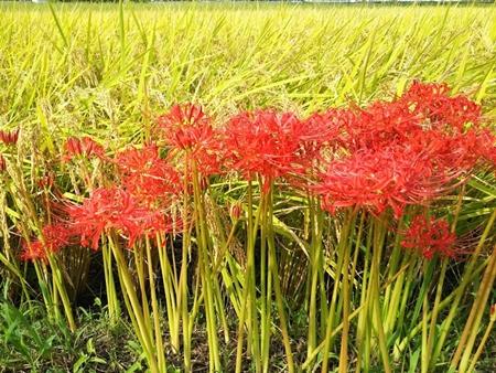 田んぼと彼岸花-crop
