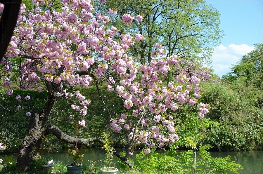 DSC_4747八重桜?
