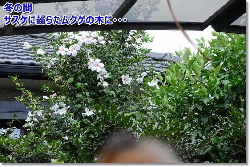 DSC_7273冬の間ガリガリかじられたムクゲに花が咲いた