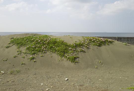 浜昼顔の季節03