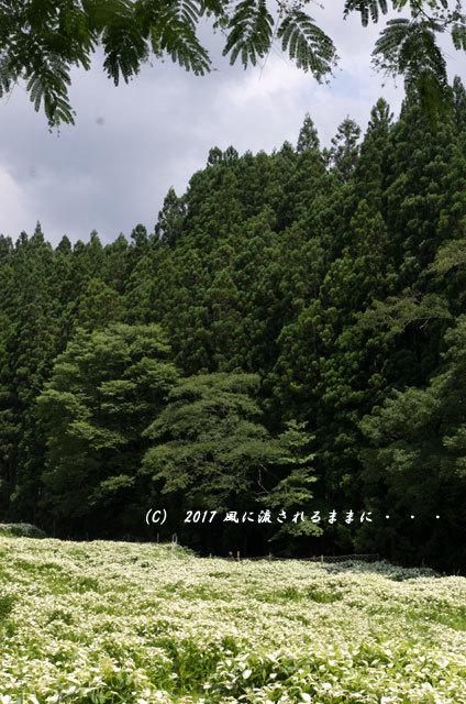 涼を求めて! 奈良・岡田の谷の半夏生園1