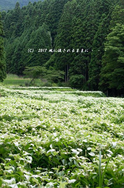 涼を求めて! 奈良・岡田の谷の半夏生園2