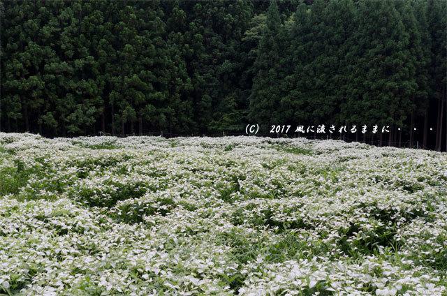 涼を求めて! 奈良・岡田の谷の半夏生園3