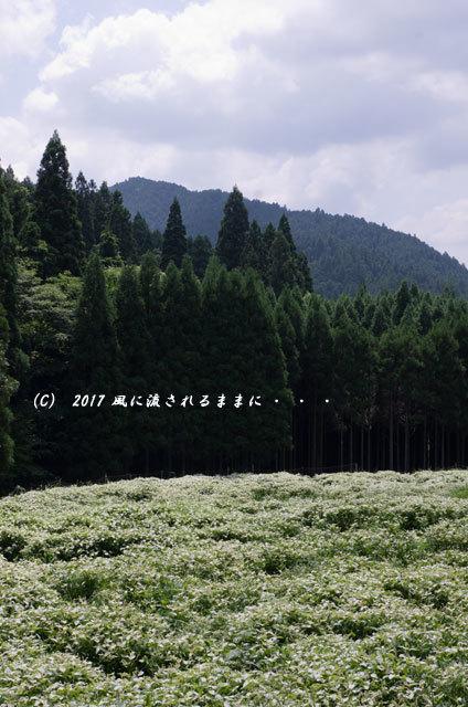 涼を求めて! 奈良・岡田の谷の半夏生園6