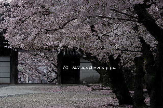 桜の情景 大阪・道明寺天満宮7