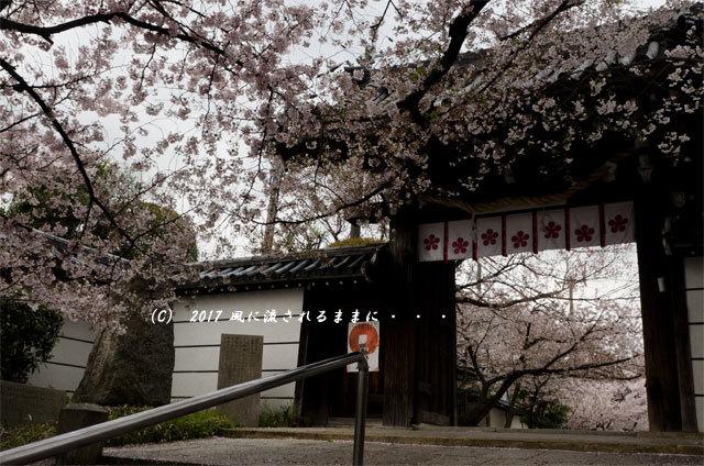 桜の情景 大阪・道明寺天満宮3