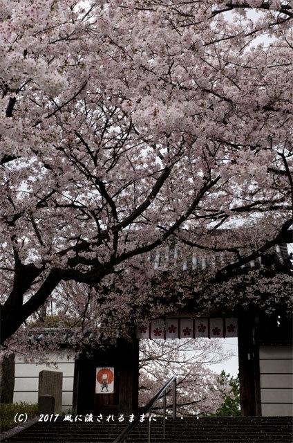 桜の情景 大阪・道明寺天満宮5