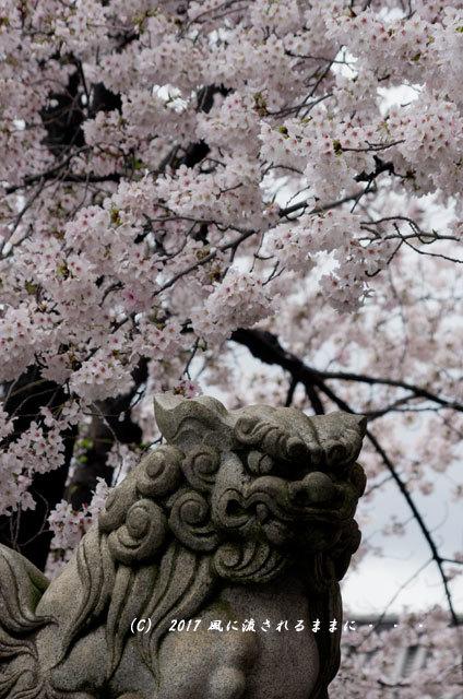 桜の情景 京都・六孫王神社(ろくそんのうじんじゃ)10