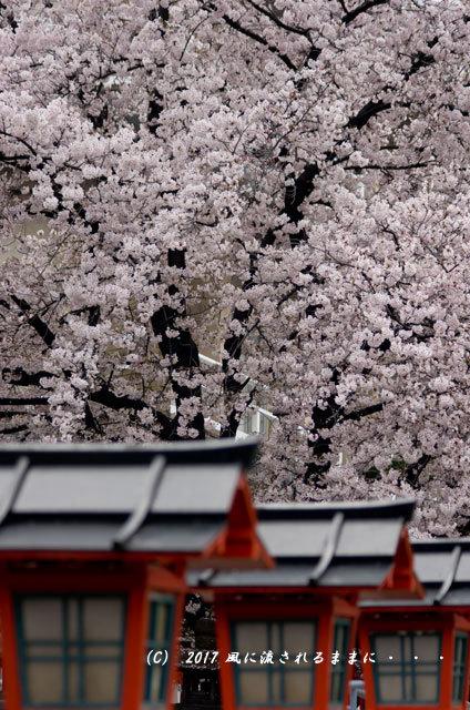 桜の情景 京都・六孫王神社(ろくそんのうじんじゃ)7