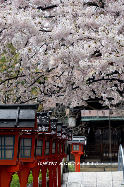 桜の情景 京都・六孫王神社(ろくそんのうじんじゃ)8