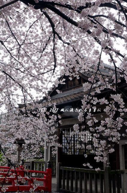 桜の情景 京都・六孫王神社(ろくそんのうじんじゃ)3