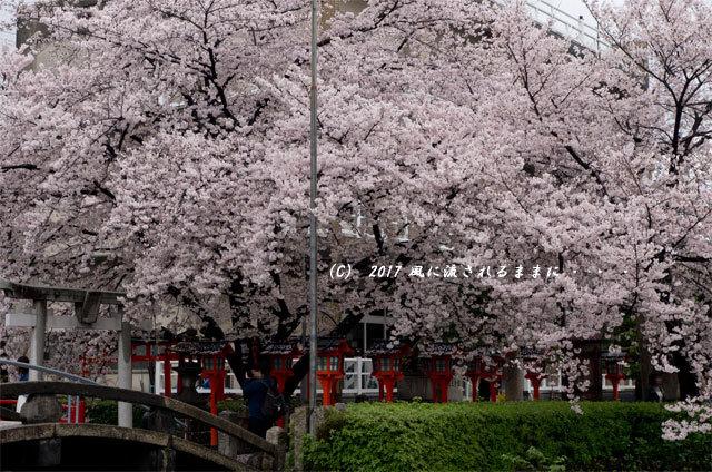 桜の情景 京都・六孫王神社(ろくそんのうじんじゃ)4