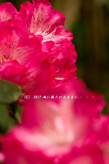 奈良・船宿寺に咲くツツジの花など12