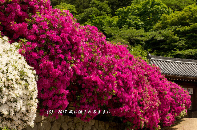 奈良・船宿寺に咲くツツジの花など1