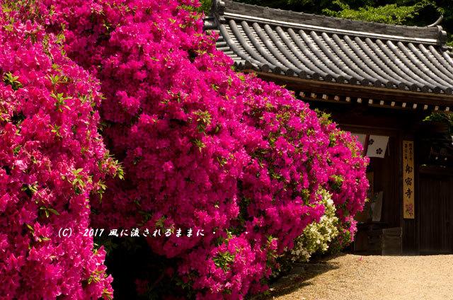 奈良・船宿寺に咲くツツジの花など2