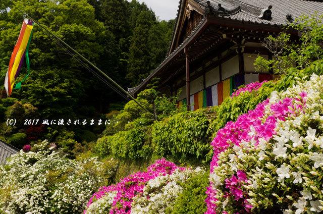 奈良・船宿寺に咲くツツジの花など5