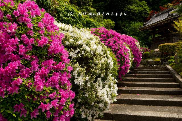 奈良・船宿寺に咲くツツジの花など7