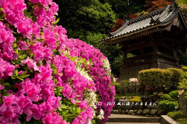 奈良・船宿寺に咲くツツジの花など8